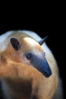 animal - southern tamandua (tamandua tetradactyla)