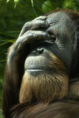 animal - orangutan (pongo pygmaeus)