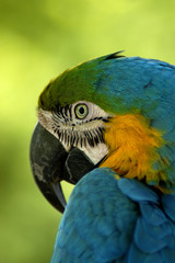 bird - blue & yellow macaw (ara ararauna)