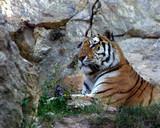 tigre au zoo poster