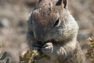 squirrel foraging, close-up