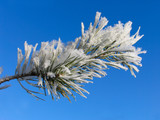 branch of pinus silvestris under hoar-frost poster