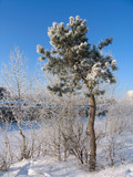 pinus silvestris under the snow poster