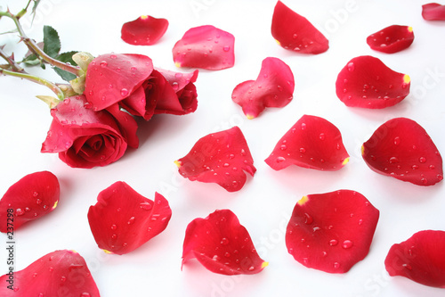 petal and rose background