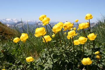 trollblumen vor bergpanorama