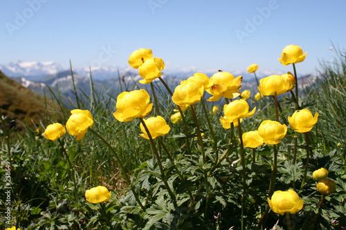 trollblumen vor bergpanorama © Marion Neuhauß
