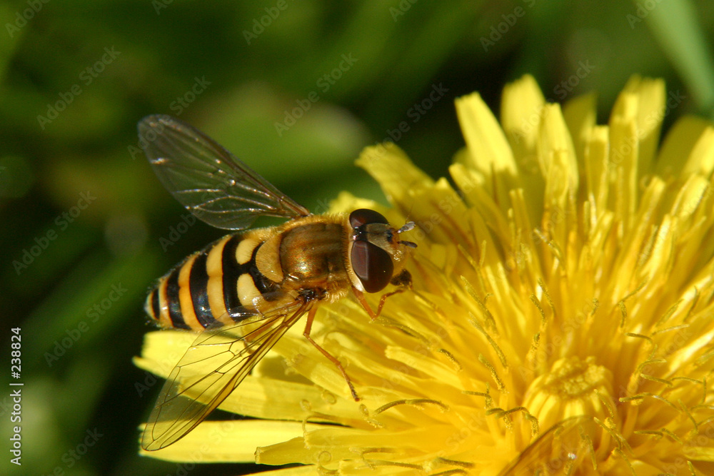 latający mniszek kwiat - powiększenie