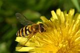 Fototapeta abeille