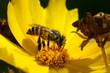 wild bee at work