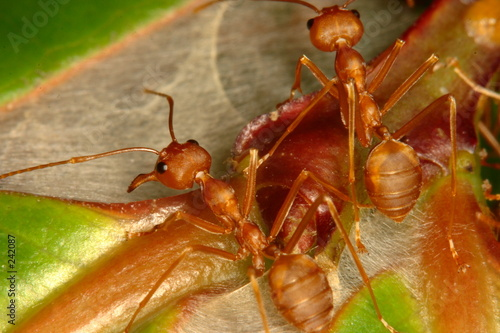 red ant on leaf