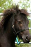 the shetland pony poster