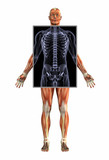 anatomy of muscles with xray - male poster