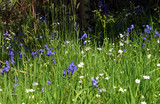bluebells in the grass poster