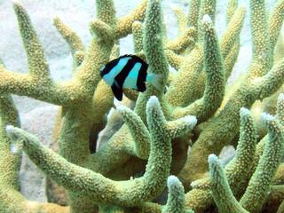 humbug fish