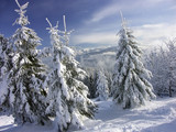 spruce trees in winter gown poster