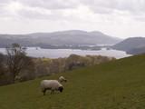 sheep on hillside poster