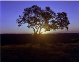 oak tree at sunset poster