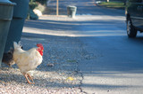 chicken about to cross the road poster