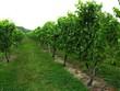 grapevines at a vineyard.