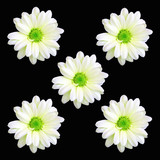five daisy flowers poster