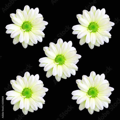 poster of five daisy flowers