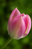 bright pink single tuilp macro poster