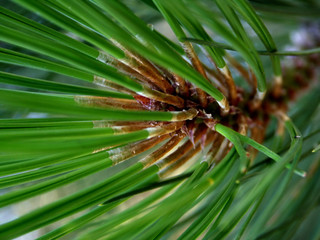 pine needles closeup