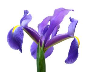 dutch iris over white