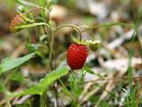 wild  strawberries after rain poster