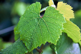 grape leaf with dew poster