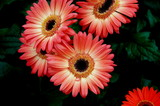 pink fancy daisy poster