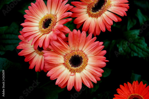 pink fancy daisy
