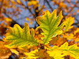 bunch of oak leaves poster