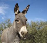 grey baby burro poster