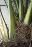 palm stem poster