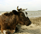 cow on the beach poster