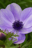 soft purple anemone flower closeup with bud poster