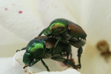 japanese beetles poster
