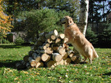 golden retriever standing up on pile of wood poster