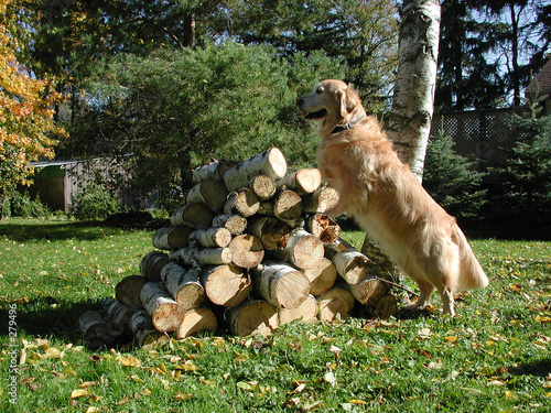 poster of golden retriever standing up on pile of wood