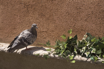 pigeon and ivy