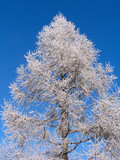 larch under hoar-frost poster