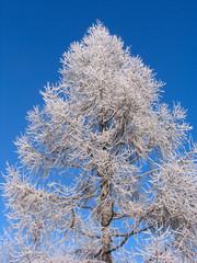 larch under hoar-frost