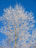 poplar under the hoar-frost poster