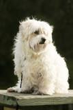 maltese terrier poster