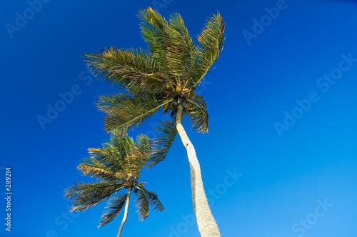 cocotiers sur la plage de sainte anne, guadeloupe