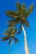 2 cocotiers sur une plage de la guadeloupe