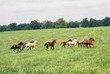 yearlings galloping