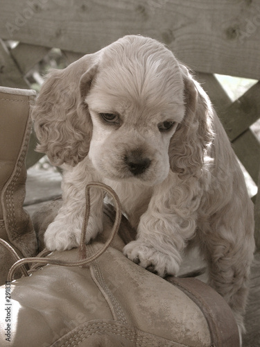 american cocker spaniel puppy on work boot