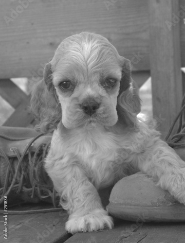 poster of american cocker spaniel puppy in work boot